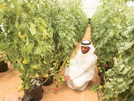 Farm owner Yafour Saeed Al Hameli shows tomatoes grown