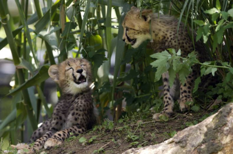 copy-of-cheetah-cubs-jpeg-0daec