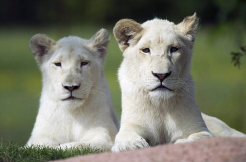 copy-of-canada-lion-cubs-jpeg-0ac90