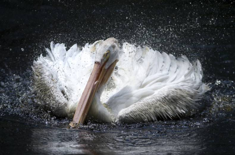 copy-of-pelican-splash-jpeg-0e672