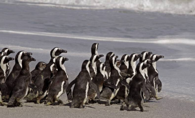 copy-of-south-africa-penguin-release-jpeg-03f3c