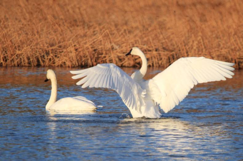 copy-of-trumpeter-swans-jpeg-00d28