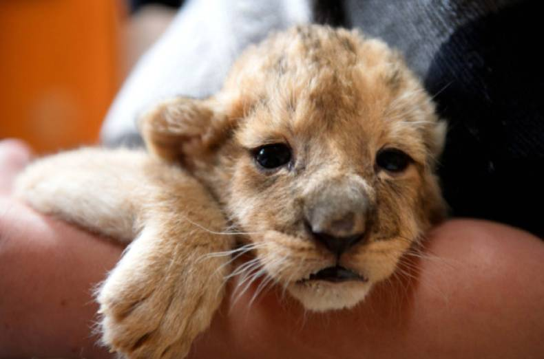 copy-of-hungary-lion-cubs-jpeg-099f7
