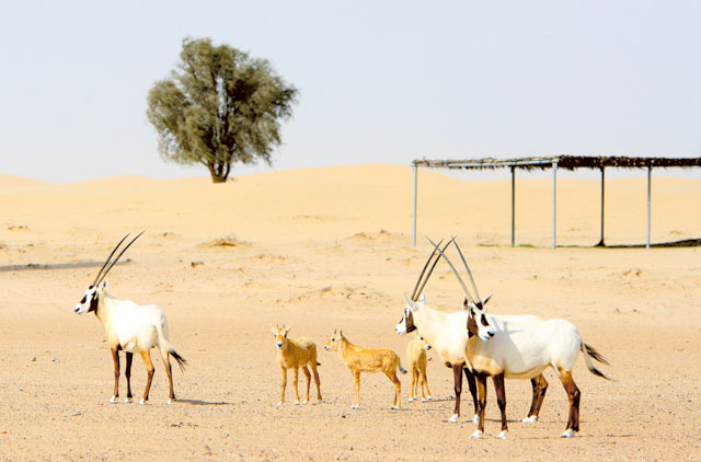 The Arabian oryx at the Al Marmoom Conservation Reserve