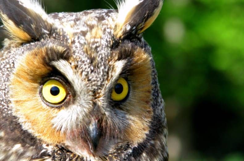 copy-of-long-eared-owl-jpeg-004e4