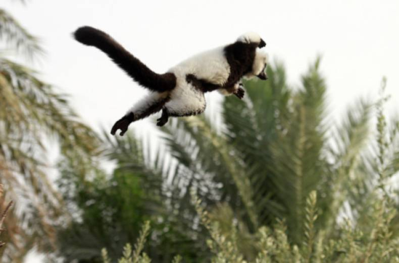 nat-130601-black-and-white-ruffed-lemur