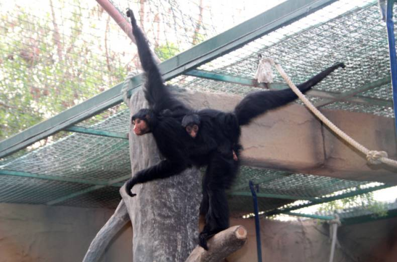 nat-130601-red-faced-spider-monkey