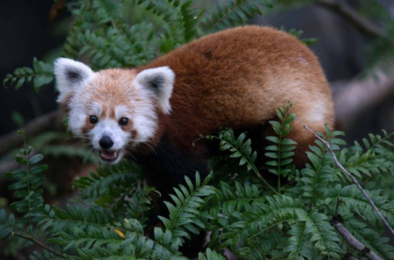 copy-of-missing-red-panda-jpeg-0e18b