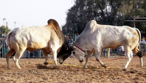 Fujairah bullfight thrills thousands