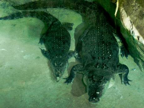 Meet King Croc Huge Crocodile Greets Dubai Mall Visitors - Meet worlds largest crocodile caught philippines