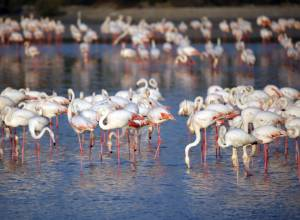 Flamingos at Ras Al Khor Wildlife Sanctuary