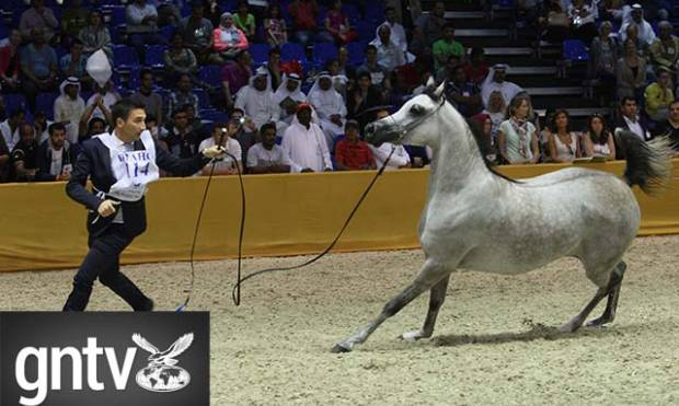 Highlights of the Arabian Horse Championship