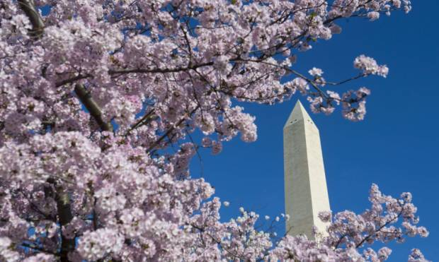 Cherry blossoms in full bloom in Washington
