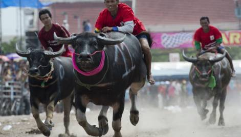 Buffaloes sprint across dusty tracks of Chonburi