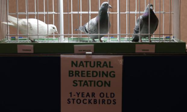 Pigeons on show at Blackpool
