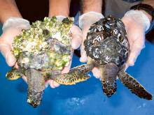 Cold snap causes dozens of turtles to wash up