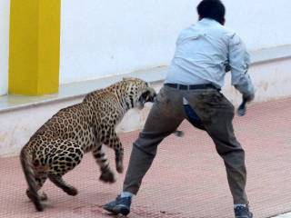 Leopard enters school, injures five