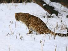 Villagers learn to live with snow leopards