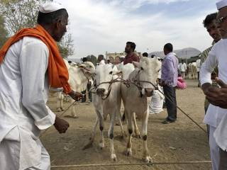 Concern over attacks by 'cow protectors'
