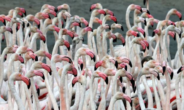 In pictures: Dubai's pink flamingos