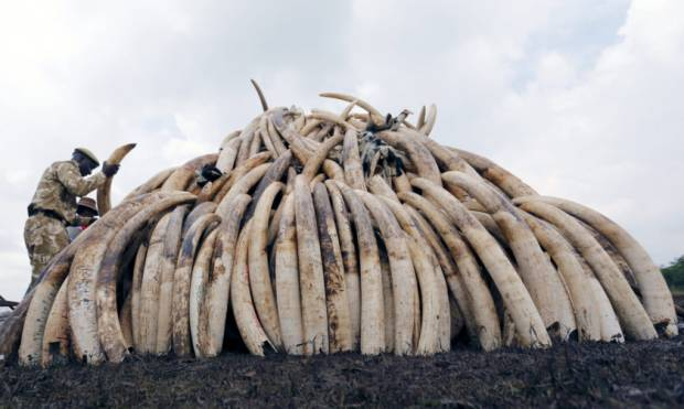 A historic burning of tonnes of ivory