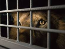 33 rescued lions roar into South Africa