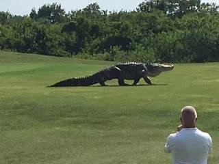 Giant alligator caught on golf course