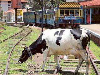 Cows on track cost India's bullet train $1b