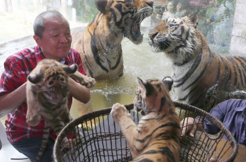 copy-of-philippines-tiger-cubs-jpeg-12b63