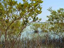 Plant a mangrove tree on your island trip