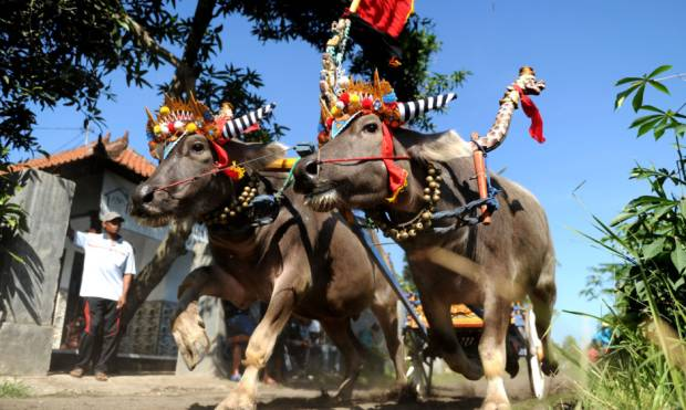 Bali's buffalo racers keep tradition alive