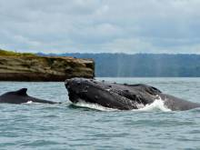 Humpback whales off endangered list
