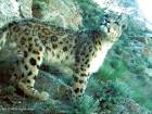 Snow leopards' return lifts hope in Afghanistan