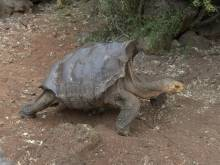 Sex-mad tortoise repopulates island