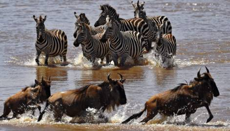 Pictures: Wildebeest migration in Masai Mara