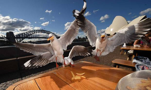 In Pictures: Sydney's hungry seagulls