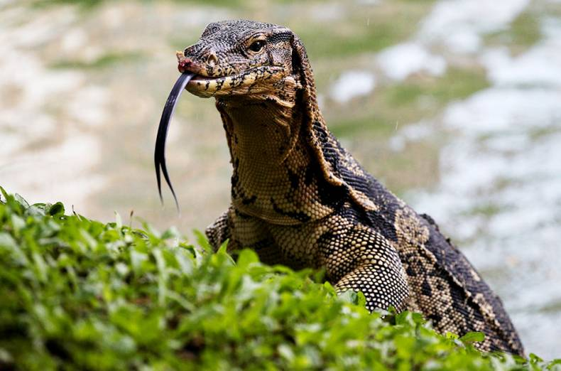 a-monitor-lizard-is-pictured-at-lumpini-park-in-bangkok