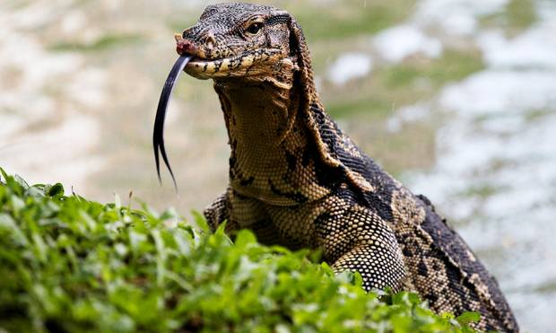 Monitor lizards of Bangkok booted from park lair