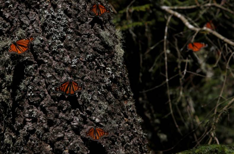 copy-of-2016-11-24t235818z-756355853-s1aeuotohuaa-rtrmadp-3-mexico-butterflies-sanctuary