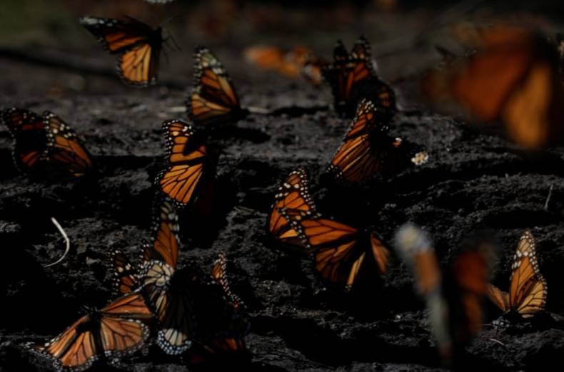 copy-of-2016-11-24t235759z-1182660204-s1aeuotohbaa-rtrmadp-3-mexico-butterflies-sanctuary