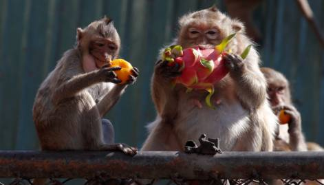 It's a feast day for monkeys in Lopburi
