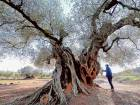 Protecting Spain's ancient olive trees