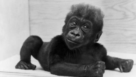 First gorilla born in zoo dies at 60