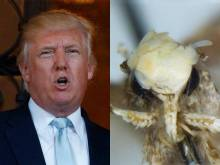 Moth with silly 'hair' named after Trump