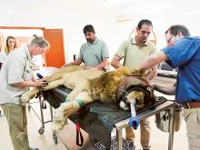 Rescued lions get root canal fix in Abu Dhabi