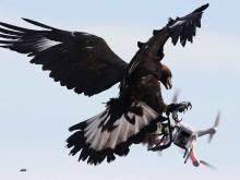 An eagle intercepts a flying drone