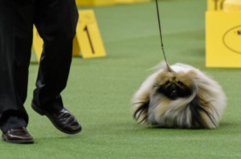 copy-of-2017-02-14t033840z-1717170753-rc1c19ab9320-rtrmadp-3-usa-dogshow