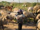 A young Palestinianholds a sheep as he herds a flock in Beit Lahia, in the northern Gaza Strip.