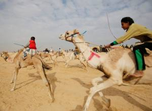 Camels gallop through Egyptian desert