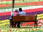 Kashmir Tulip Garden opens for visitors